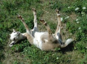 fainting_goat